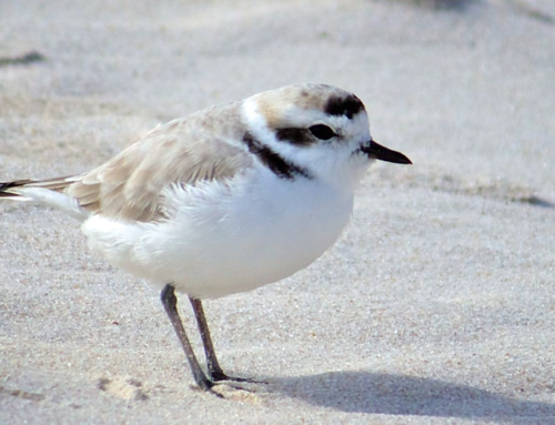 The Snowy Plover – A Treasure of The Islands