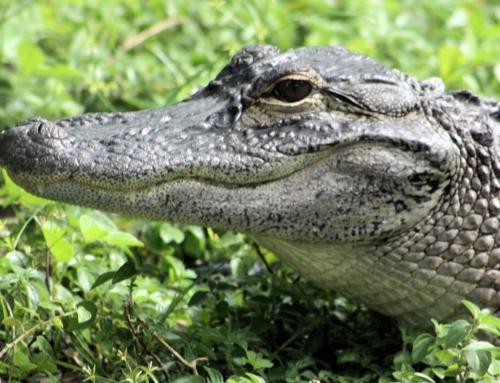 Alligators On Sanibel Island