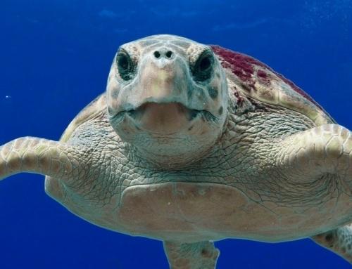 Sea Turtles On Sanibel & Captiva Island